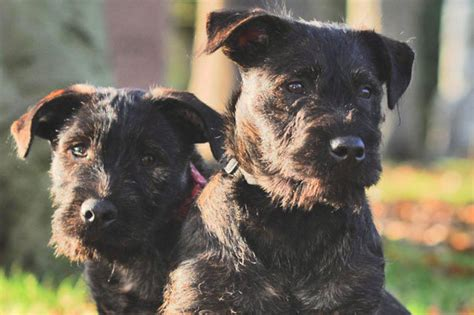 Taking the Wotties for walkies: Amazing new dog breed is